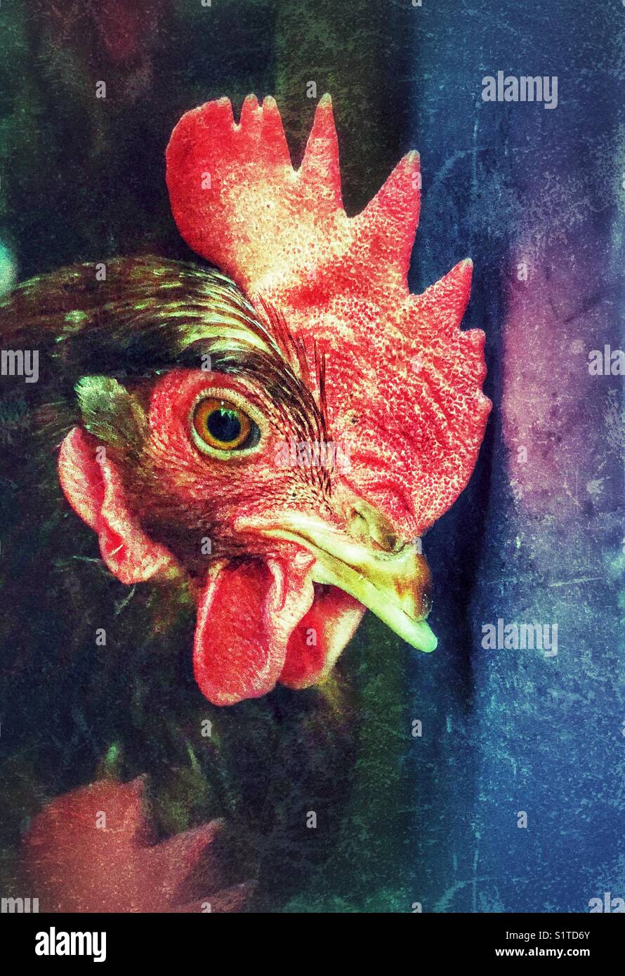Colourful creative portrait of a chicken (Rhode Island Red hen) - Stock Image