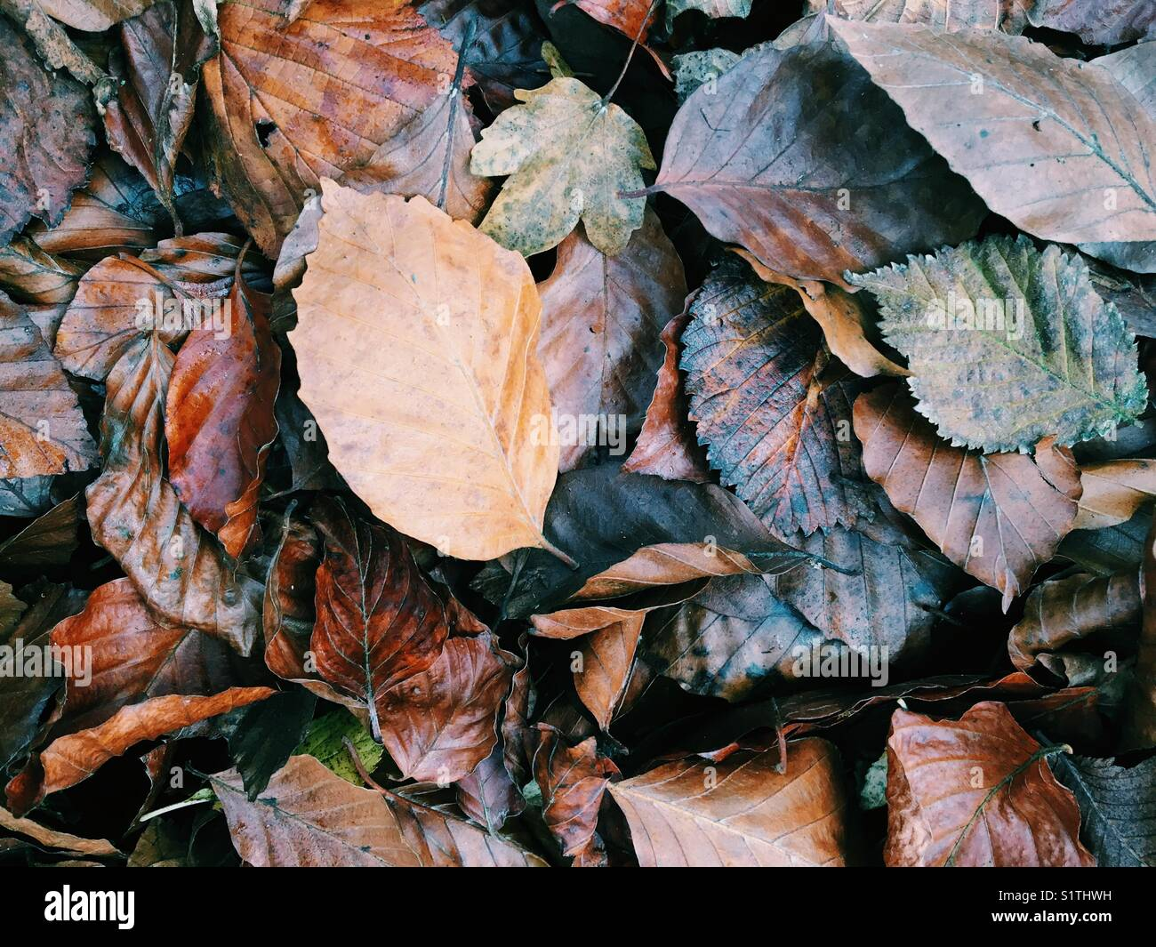 Fallen leaves on the ground in winter - Stock Image