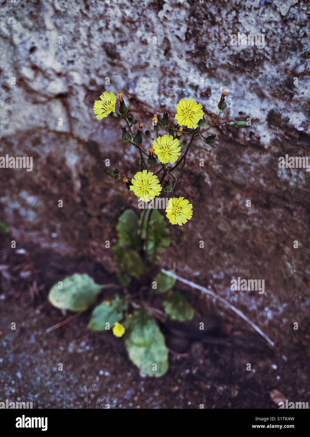 Yellow Flowered Weed Against A Rough Stone Wall Stock Photo