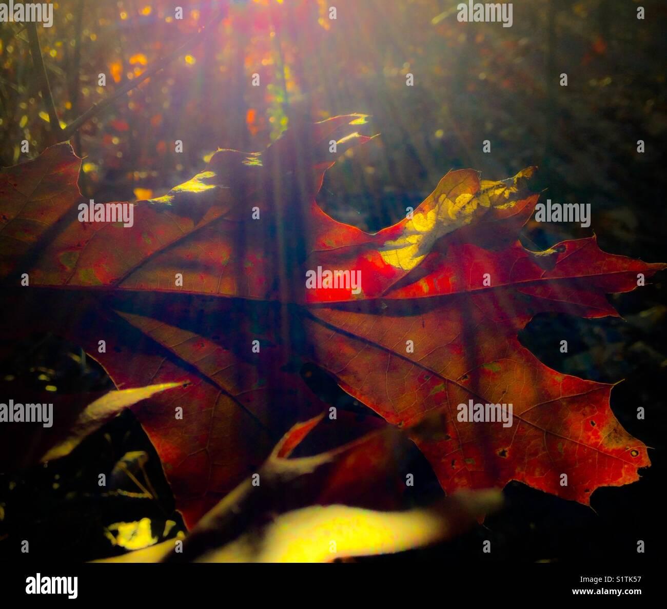Jewel toned leaf with sunbeams - Stock Image