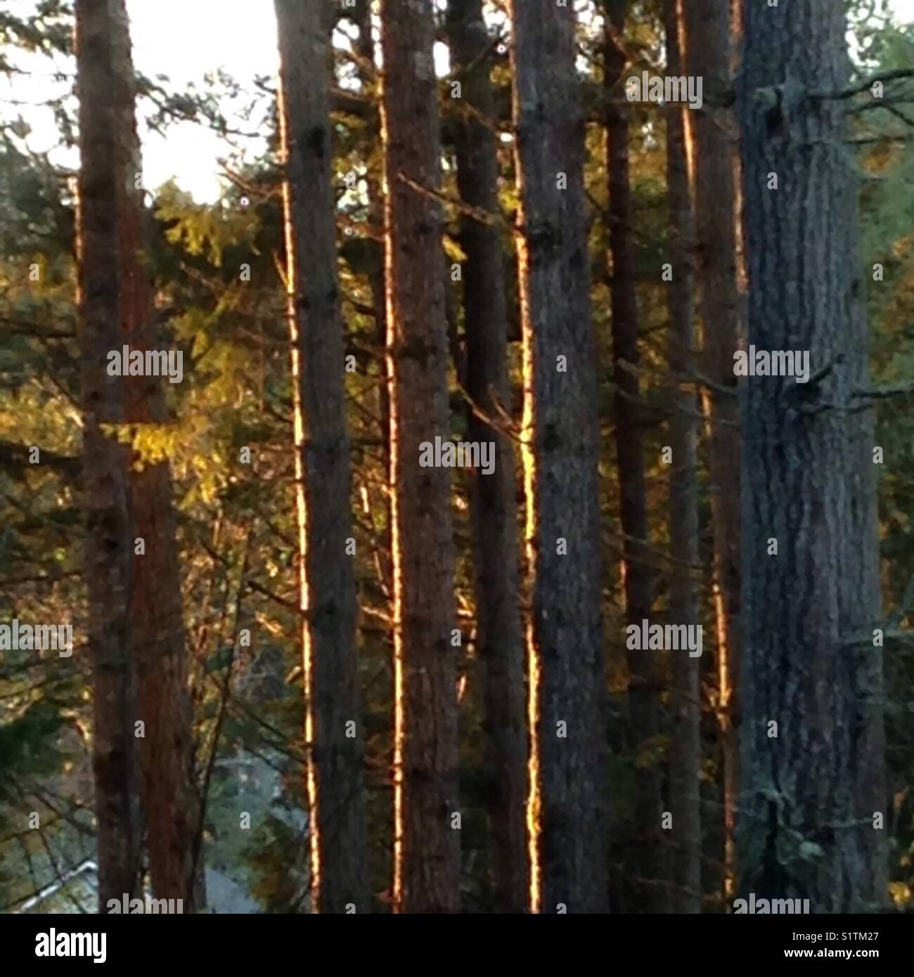 Sunsetting and highlighting the tall Evergreen trees - Stock Image