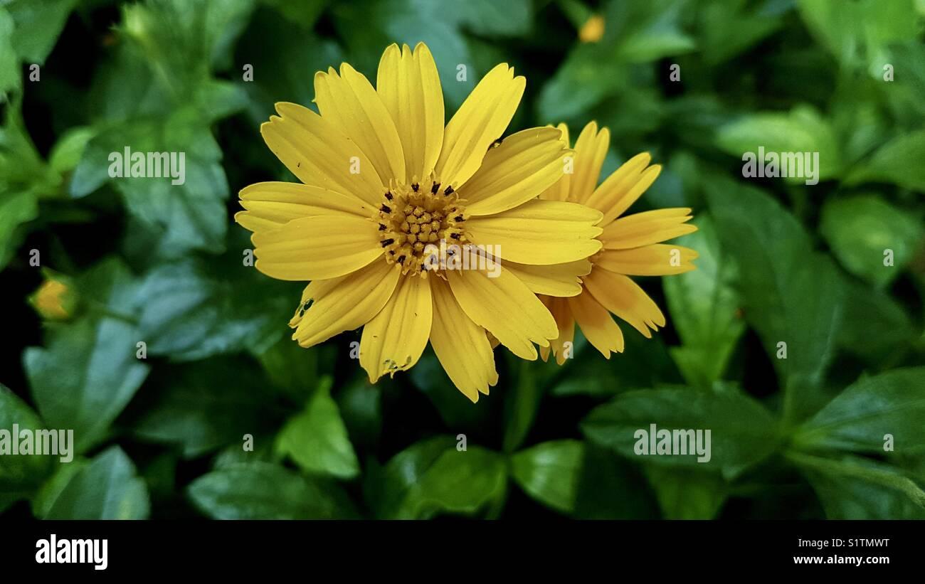 "beautiful yellow flowers at the ""garden of five senses ""delhi india"
