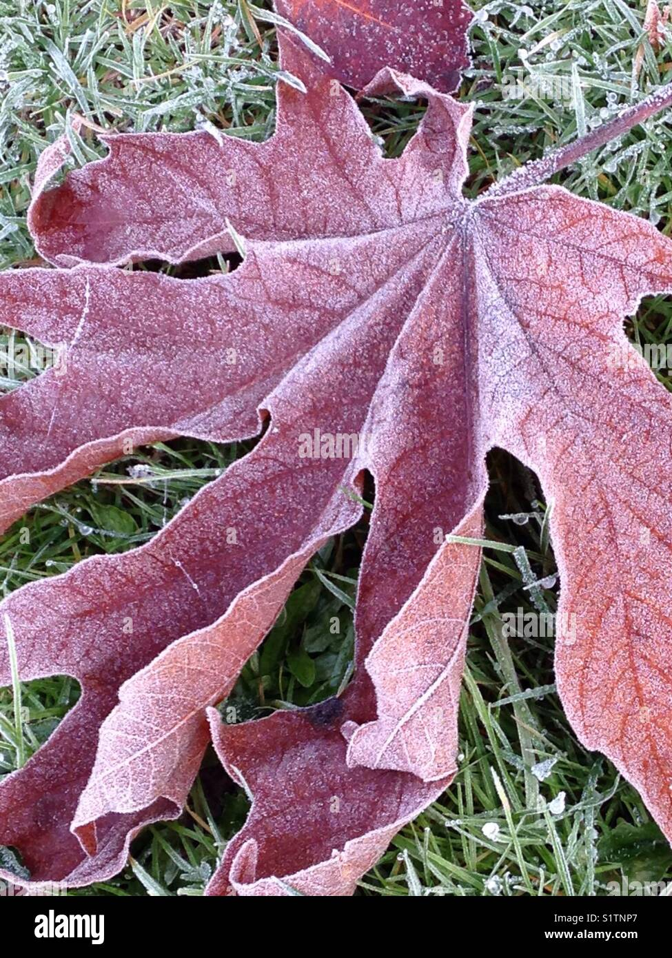 Large Leaf Maple leaf covered in frost on the ground - Stock Image