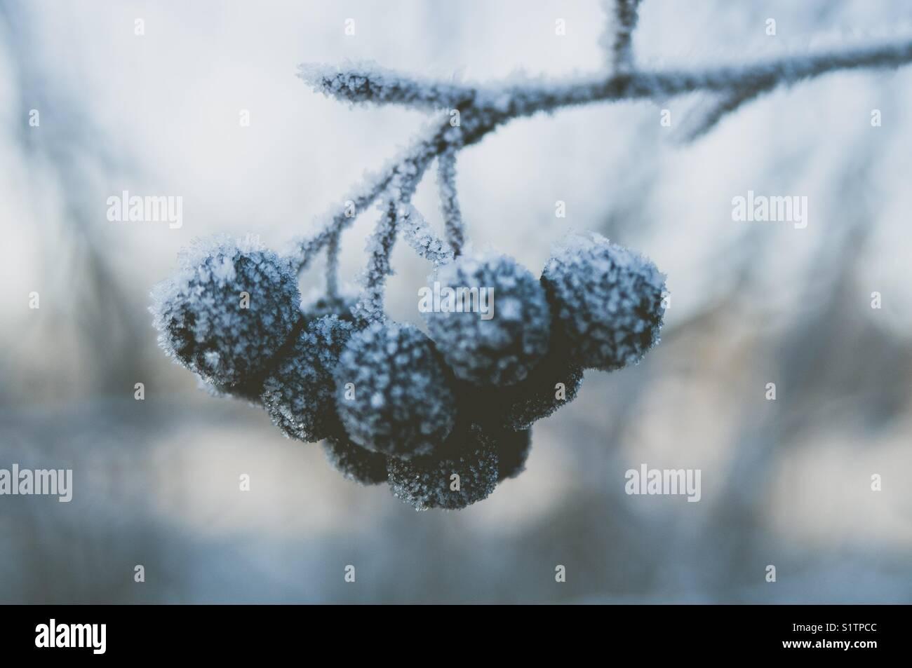 Frozen Aronia berries. - Stock Image