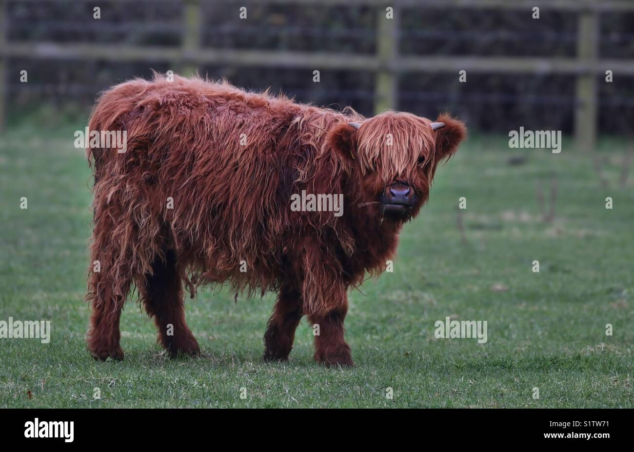 Longhorn Cow - Stock Image