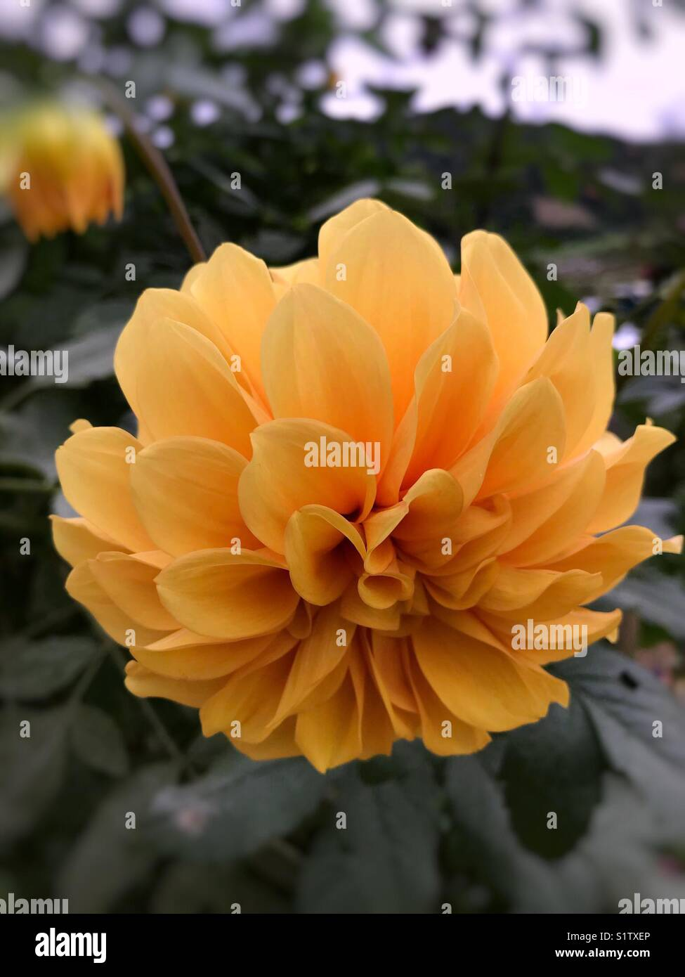 Beautiful Yellow Flower In Cameron Highlands Malaysia Stock Photo