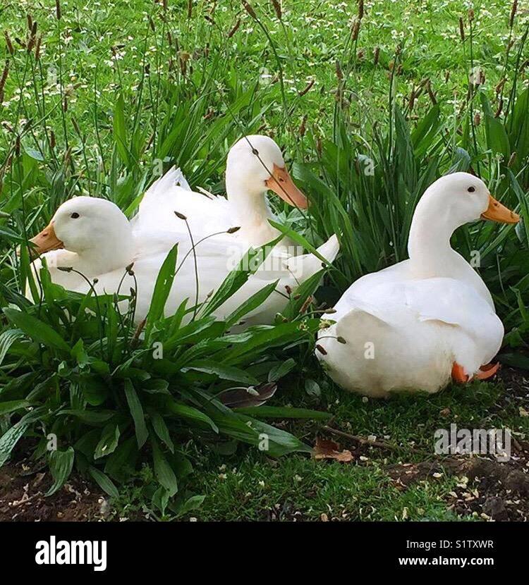 Three white ducks - Stock Image