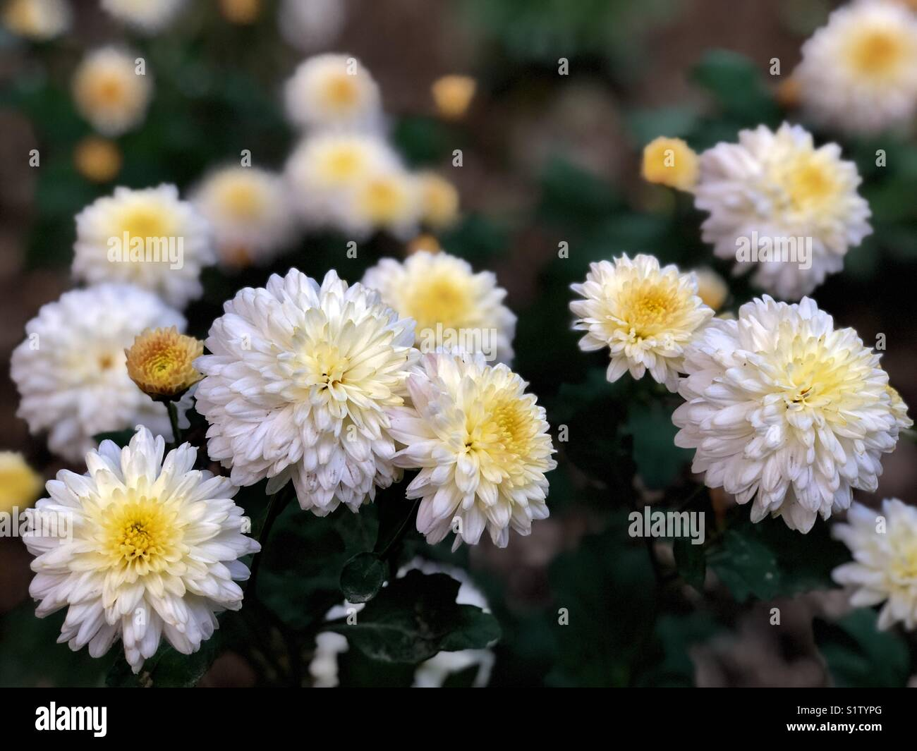 Hybrid White Marigold Flowers At National Zoological Parknew Delhi