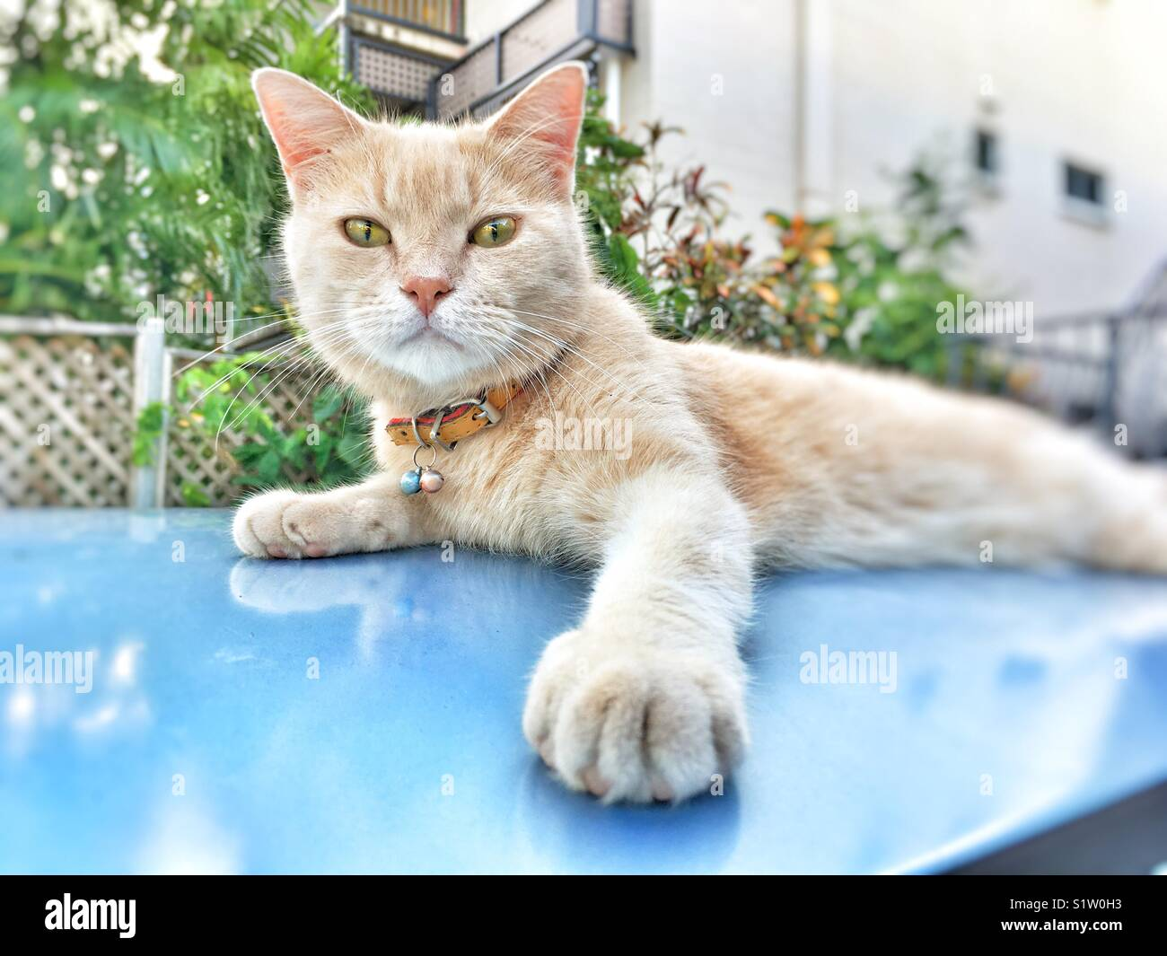 Cat lying on a car roof and looking at the camera. - Stock Image