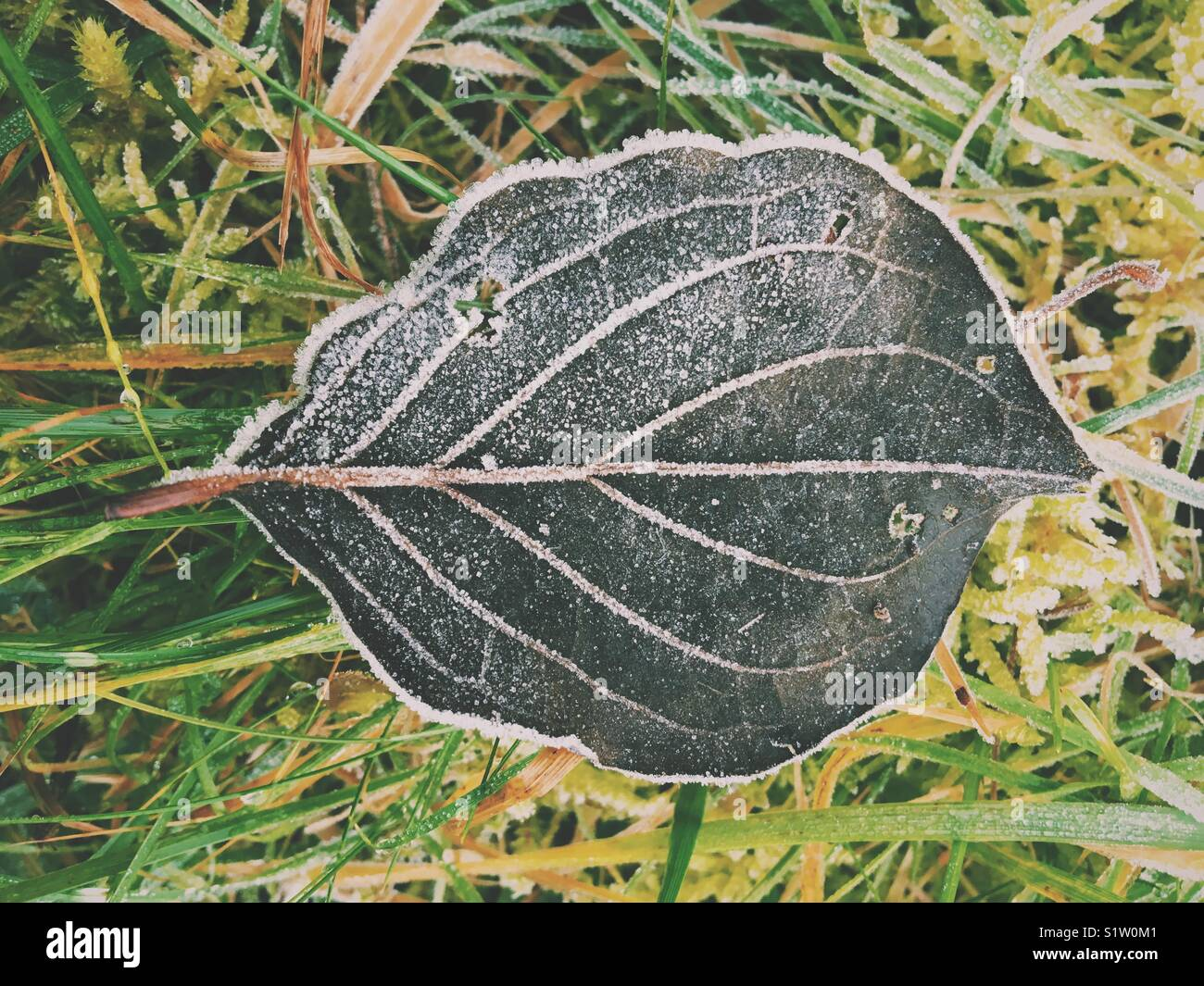 Fallen frosty black leaf lying on the ground Stock Photo