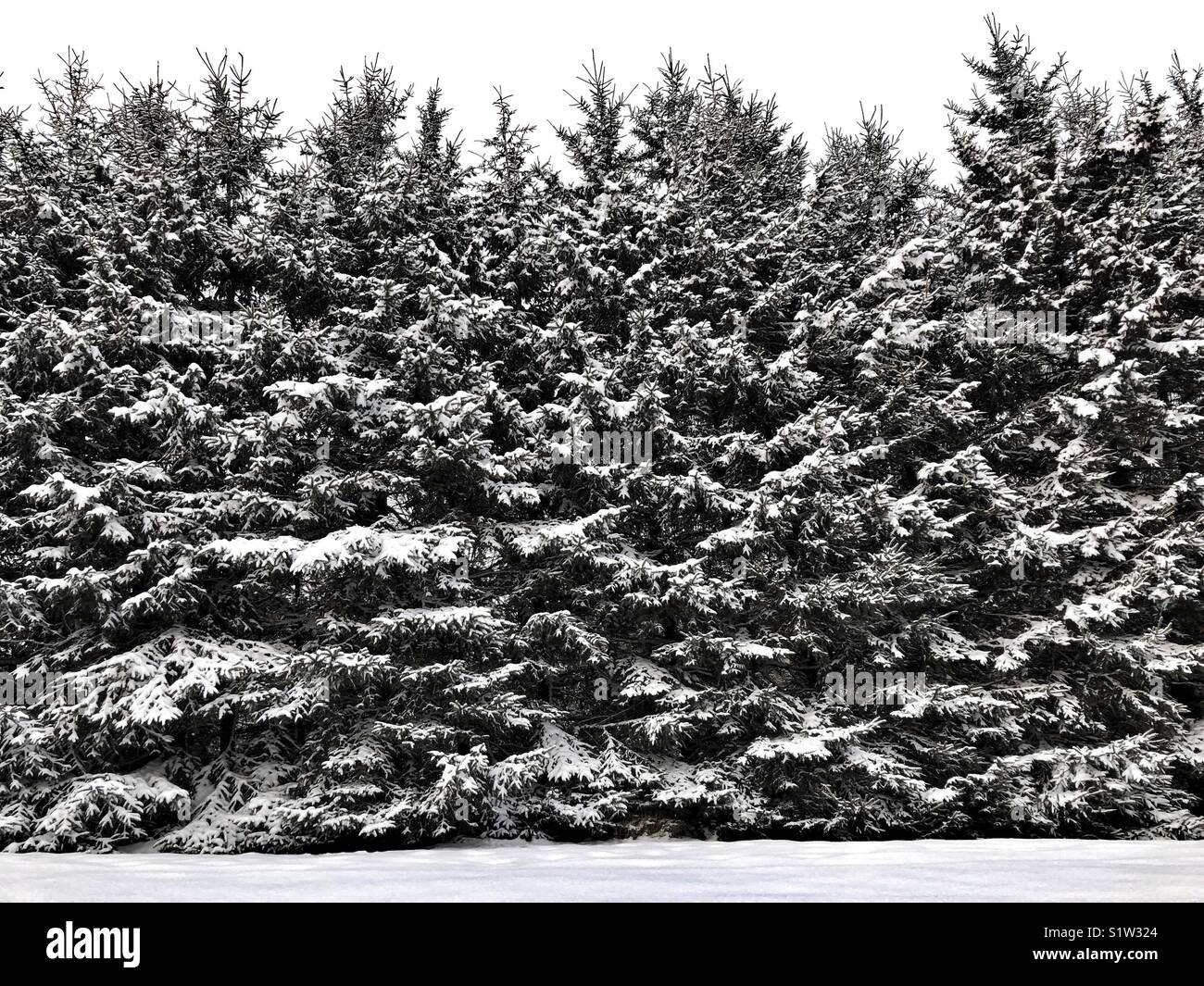 Wall of tall snow covered evergreen trees against a white overcast sky and fresh snow on the ground - Stock Image