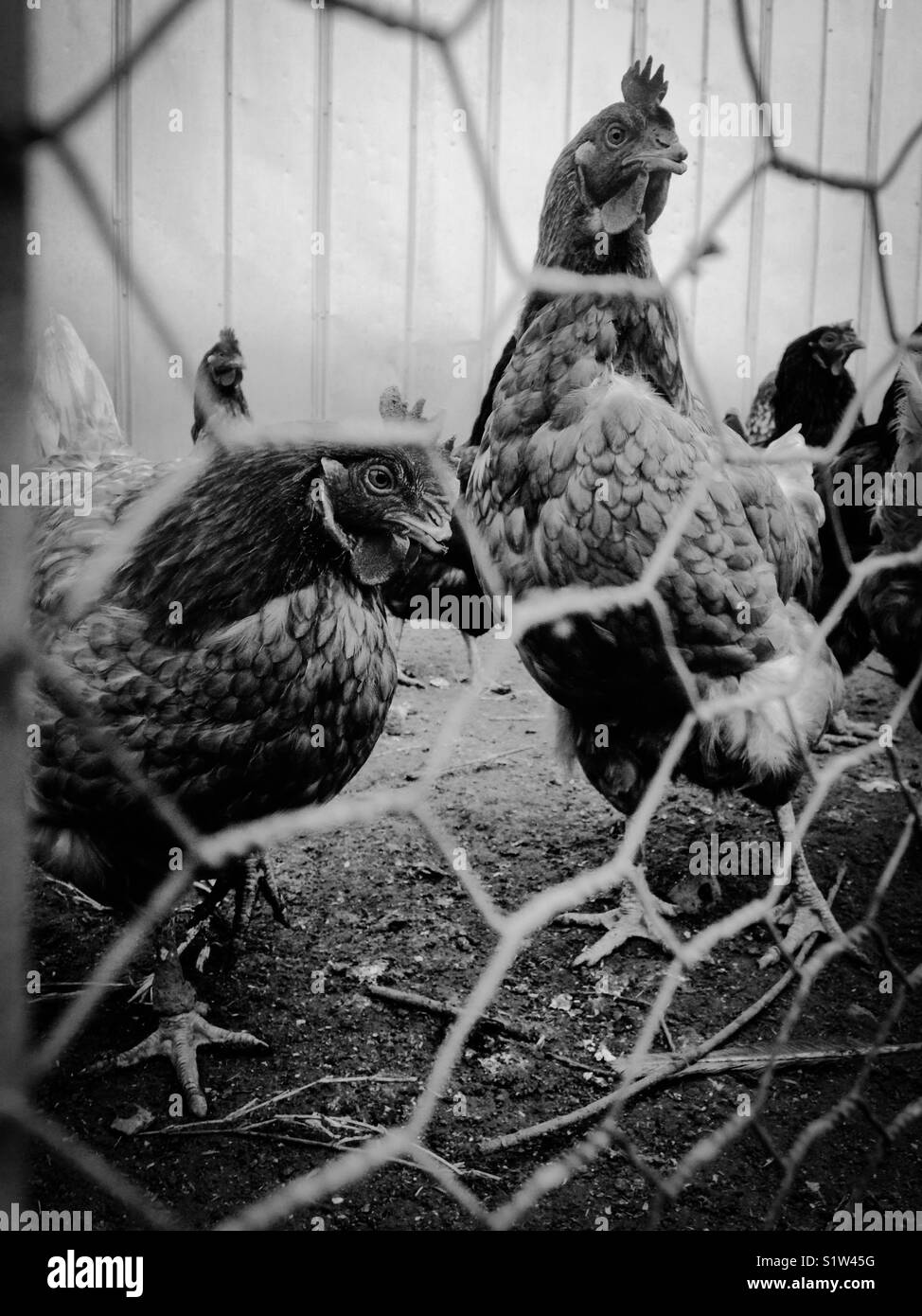 Black and white photo of chickens behind chicken wire - Stock Image