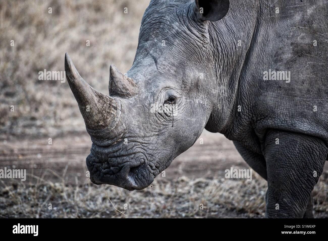 Rhino in Africa - Stock Image