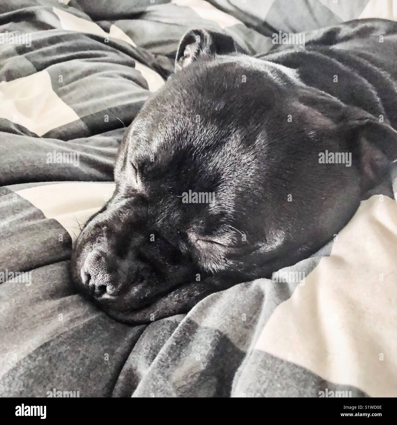 Sleeping black Staffordshire bull terrier dog on a thick black and white duvet - Stock Image