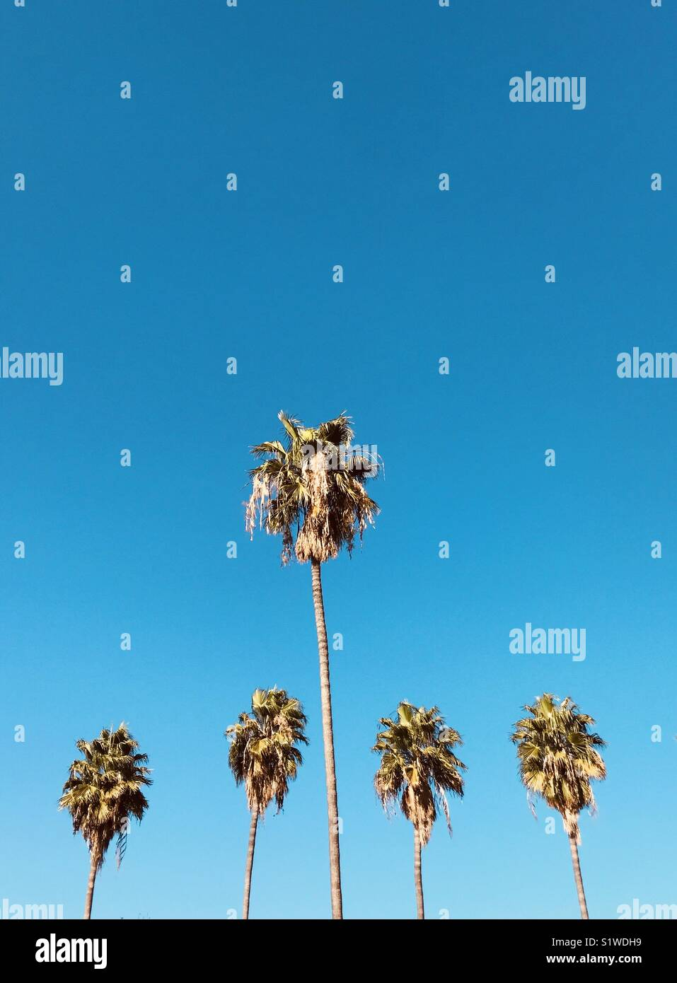 Five palm trees and blue sky. Los Angeles, California USA. - Stock Image