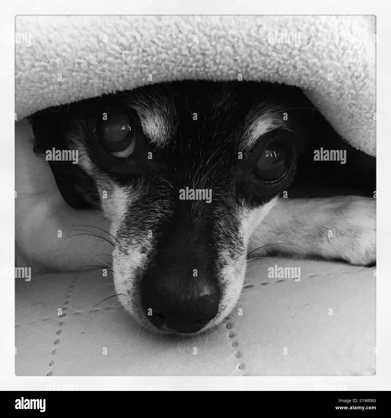 Rat Terrier face looking out from other covers - Stock Image