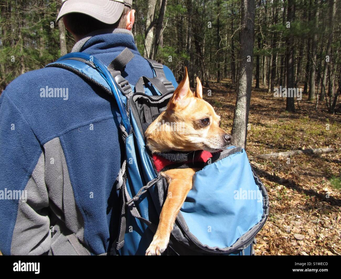 Tired pup in a backpack during a hike. - Stock Image
