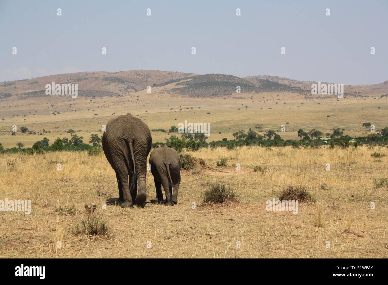 African Elephant Safari - Stock Image