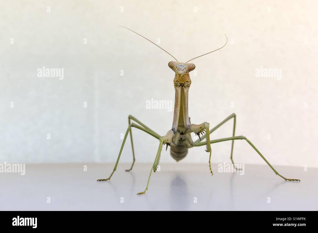 Giant Praying Mantis Stock Photo