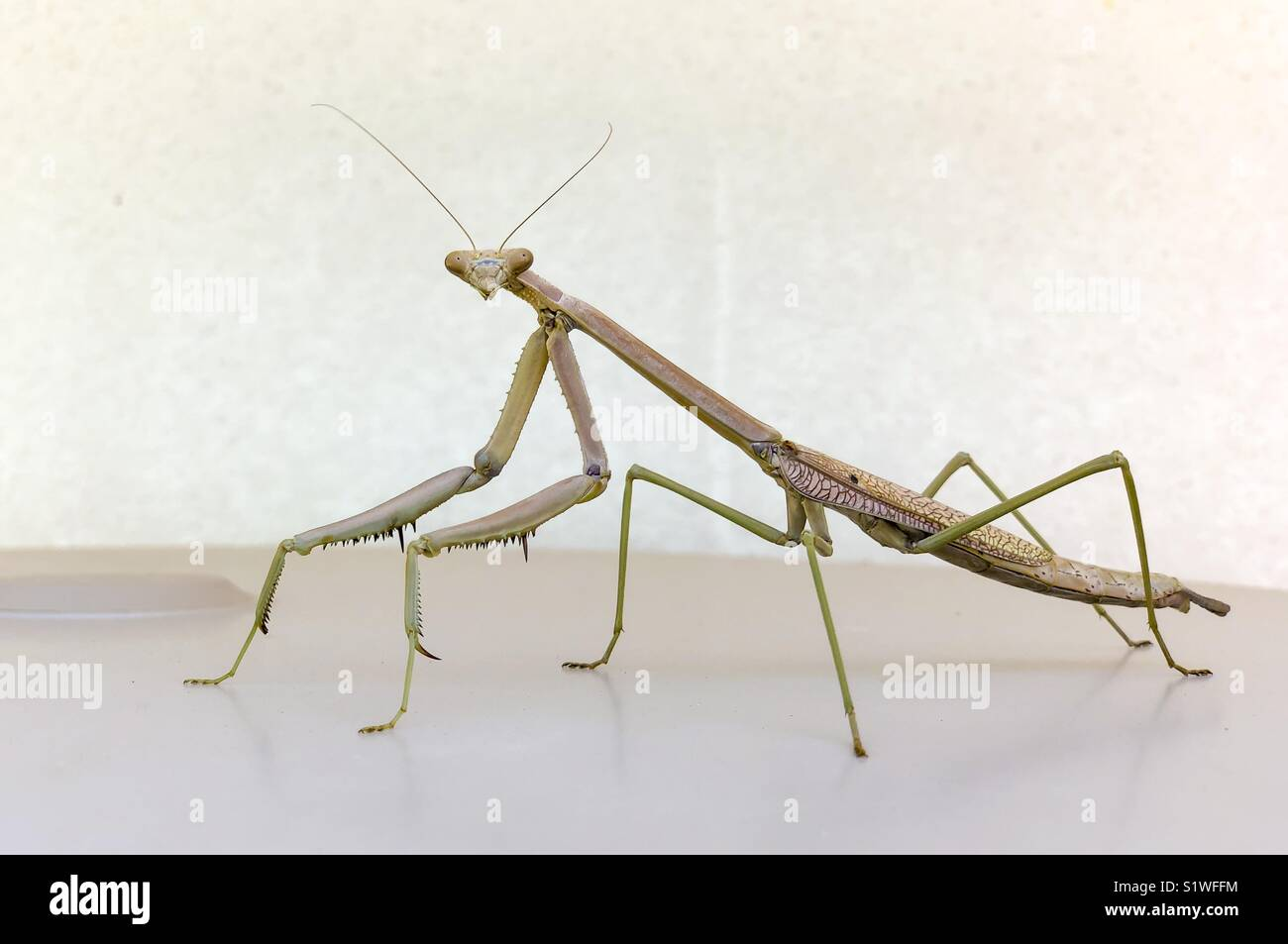 Portrait of a big Praying Mantis. Stock Photo