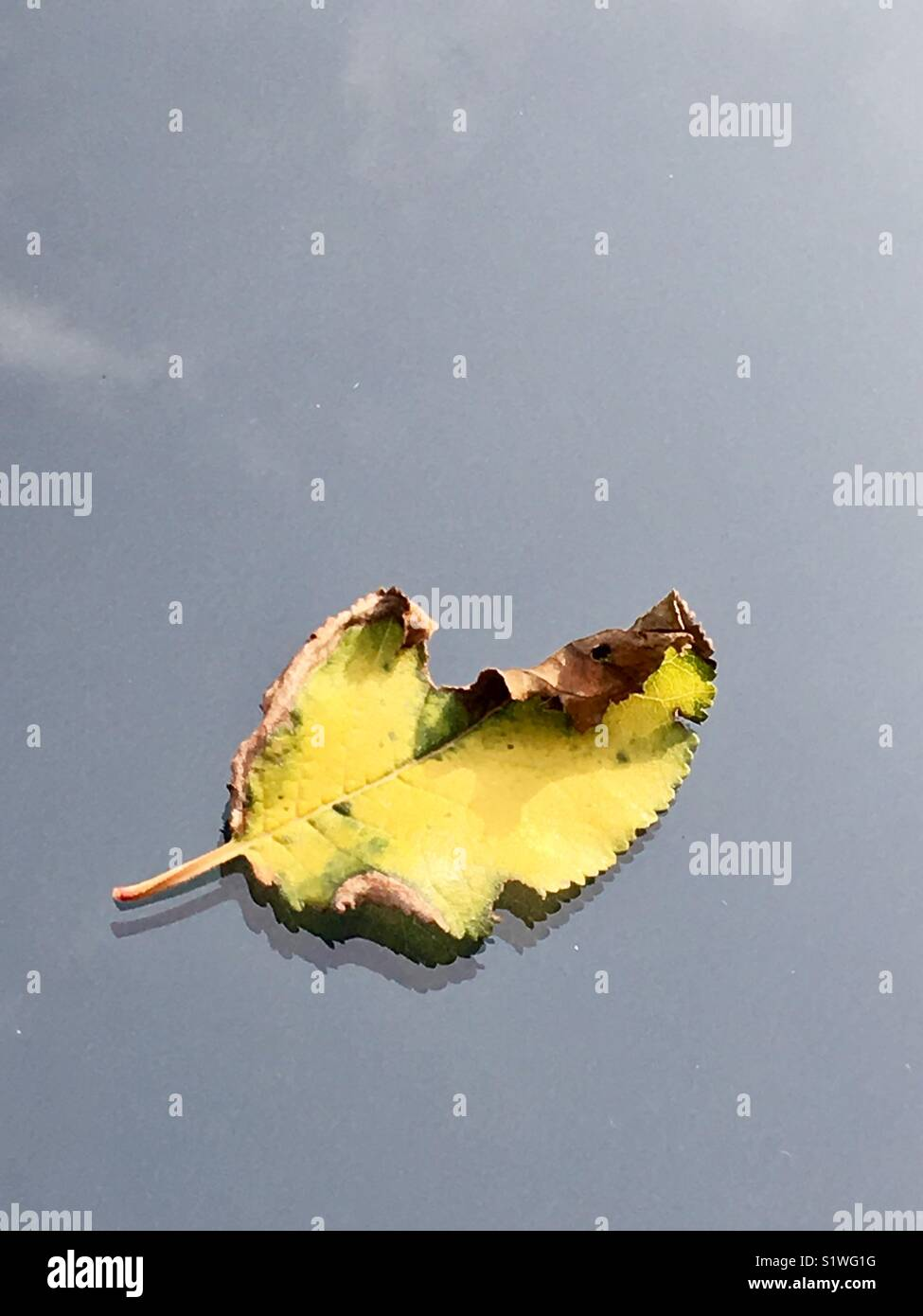 Yellow leaf on glass in autumn - Stock Image