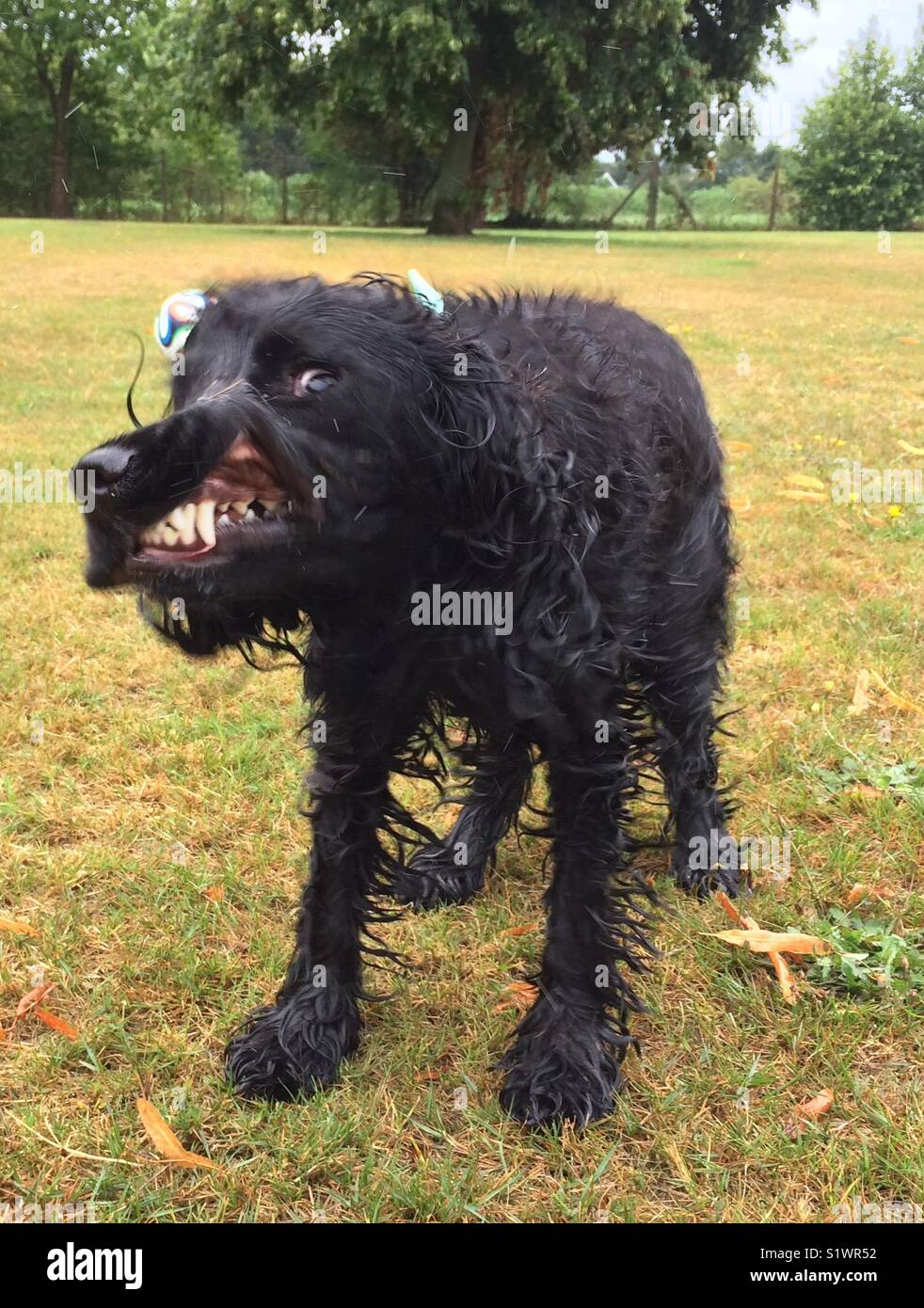 Wet cocker spaniel dog shaking and looking like it is snarling or angry with funny comic expression and teeth showing - Stock Image