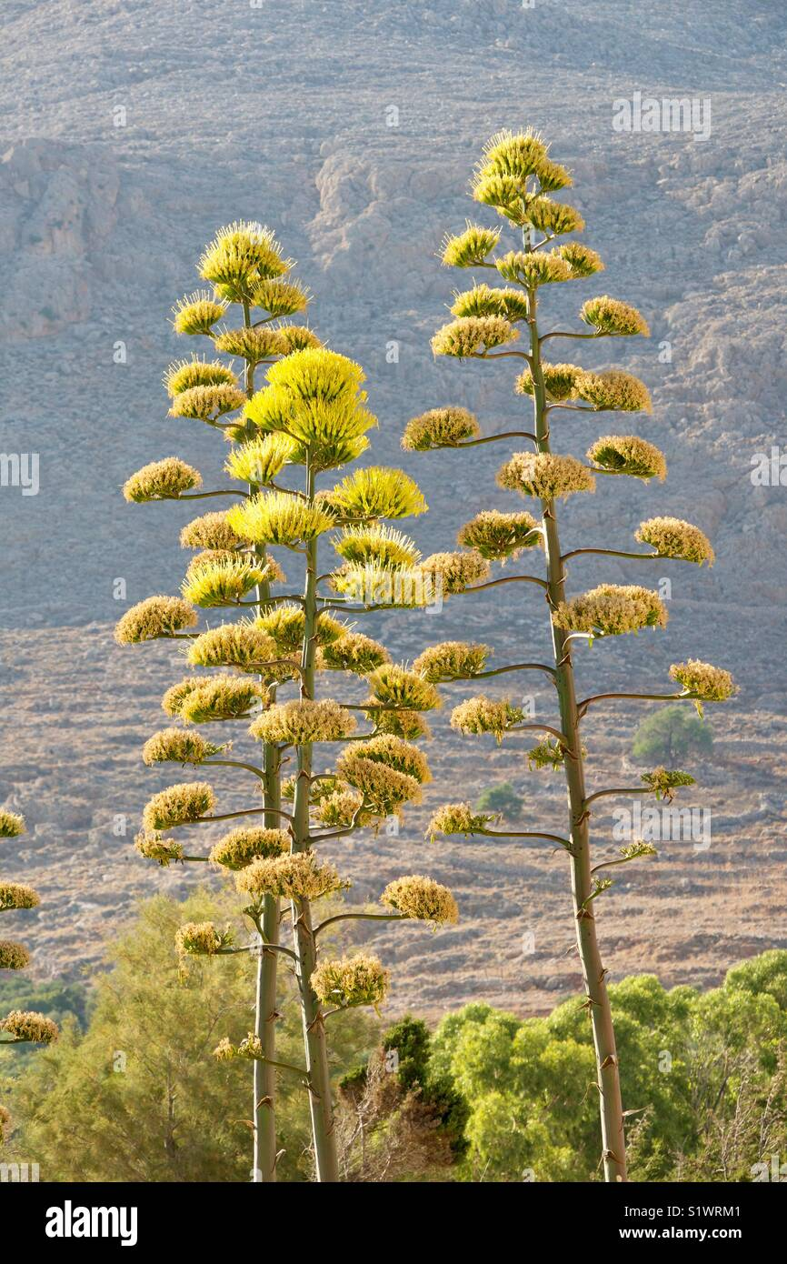 Tall, yellow, Agave plants growing by the sea, Halki, Greece. - Stock Image