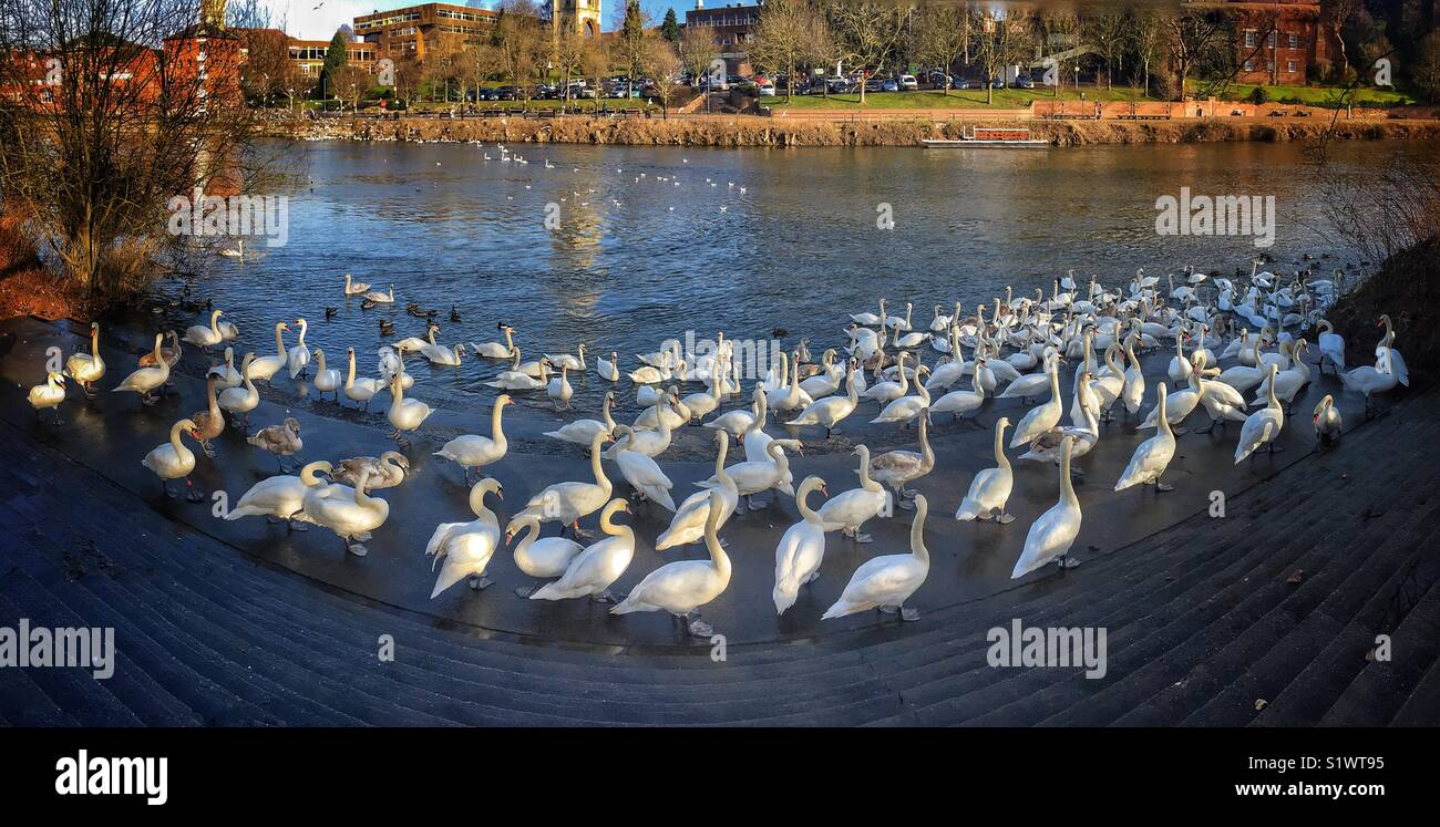 Swans in Worcester U.K. - Stock Image