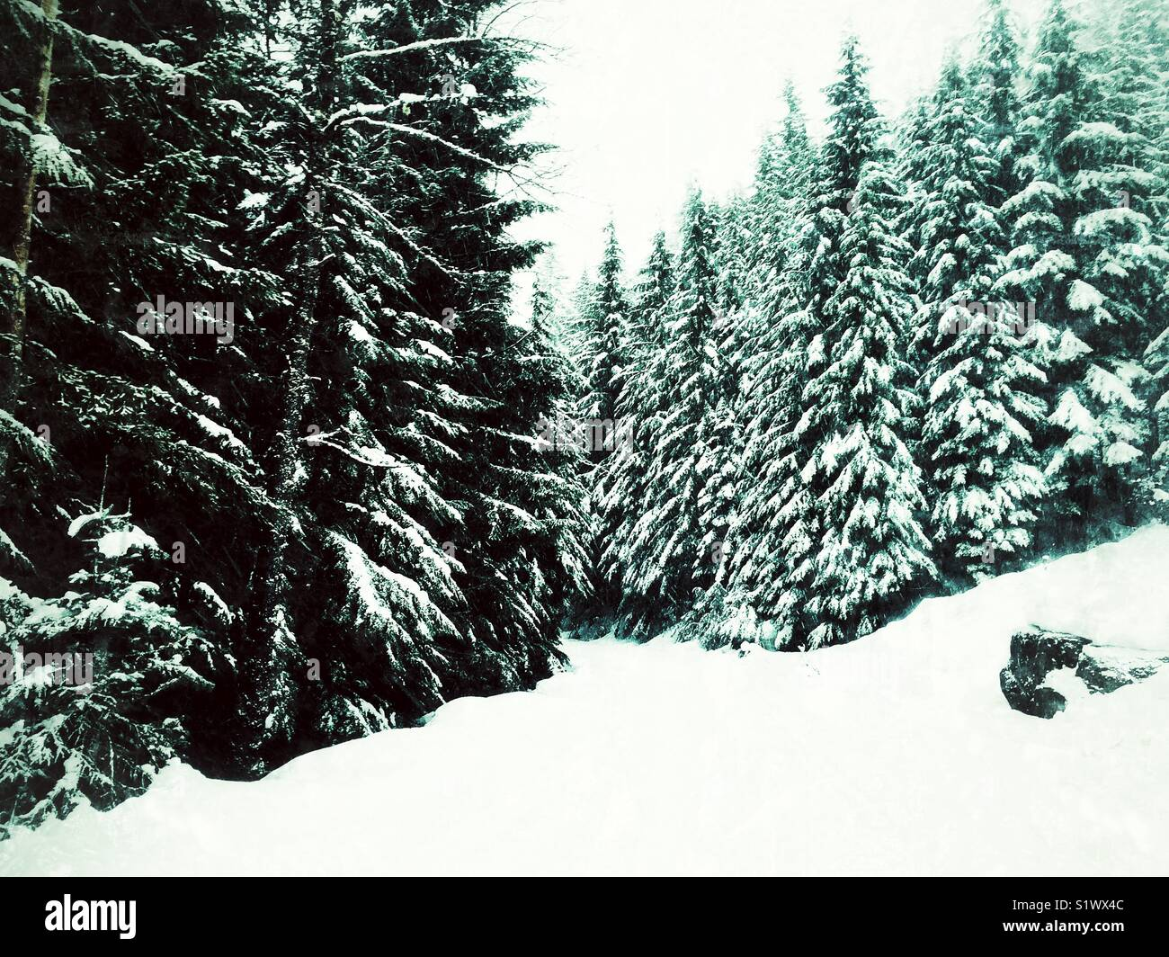 Snow covered conifers in winter wonderland near Snoqualmie pass, half an our from rainy Seattle - Stock Image