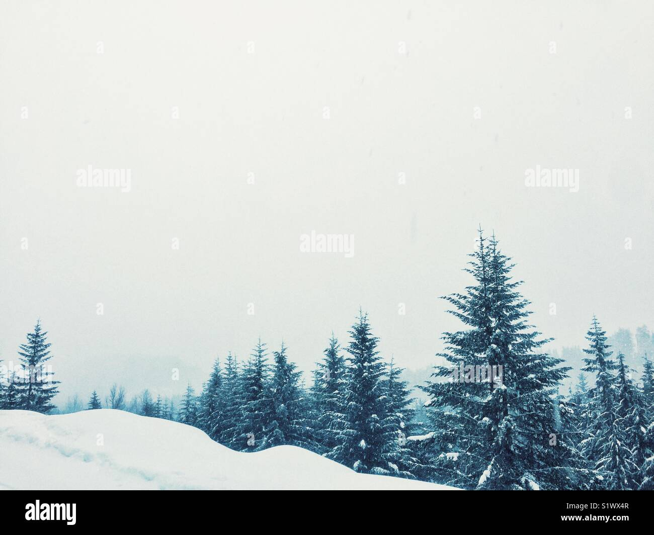 Snow covered conifers in winter wonderland near Snoqualmie pass, half an hour from rainy Seattle - Stock Image