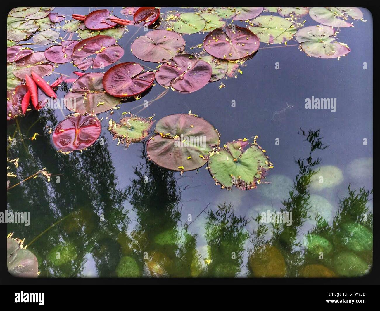 Small colorful Lillypads floating on water - Stock Image