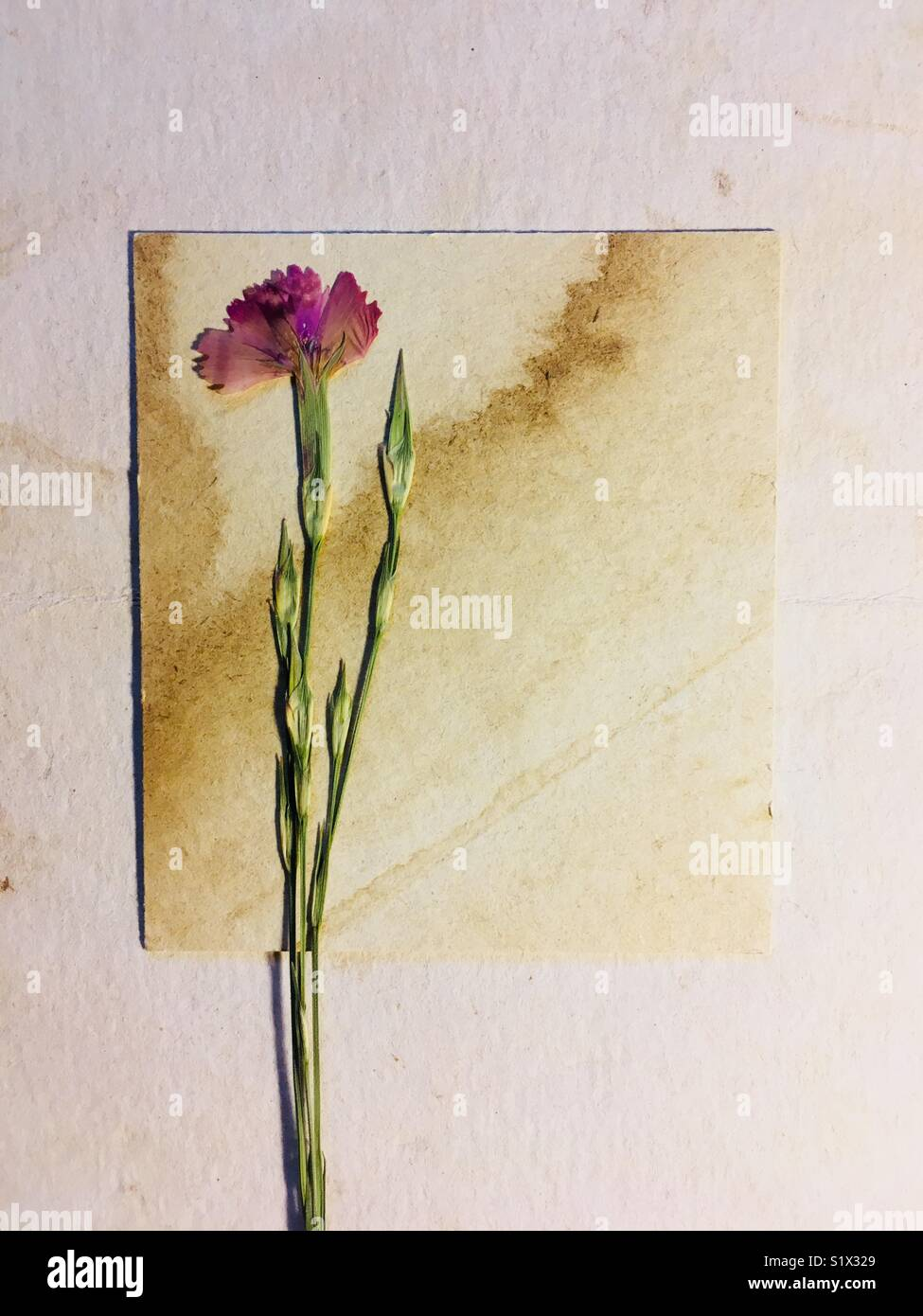 dried flower on old paper - Stock Image