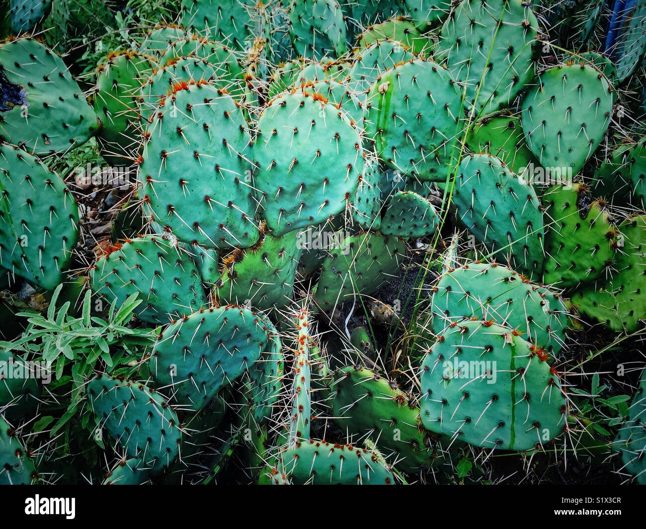 Prickly pear cactus in the wild in Arizona - Stock Image