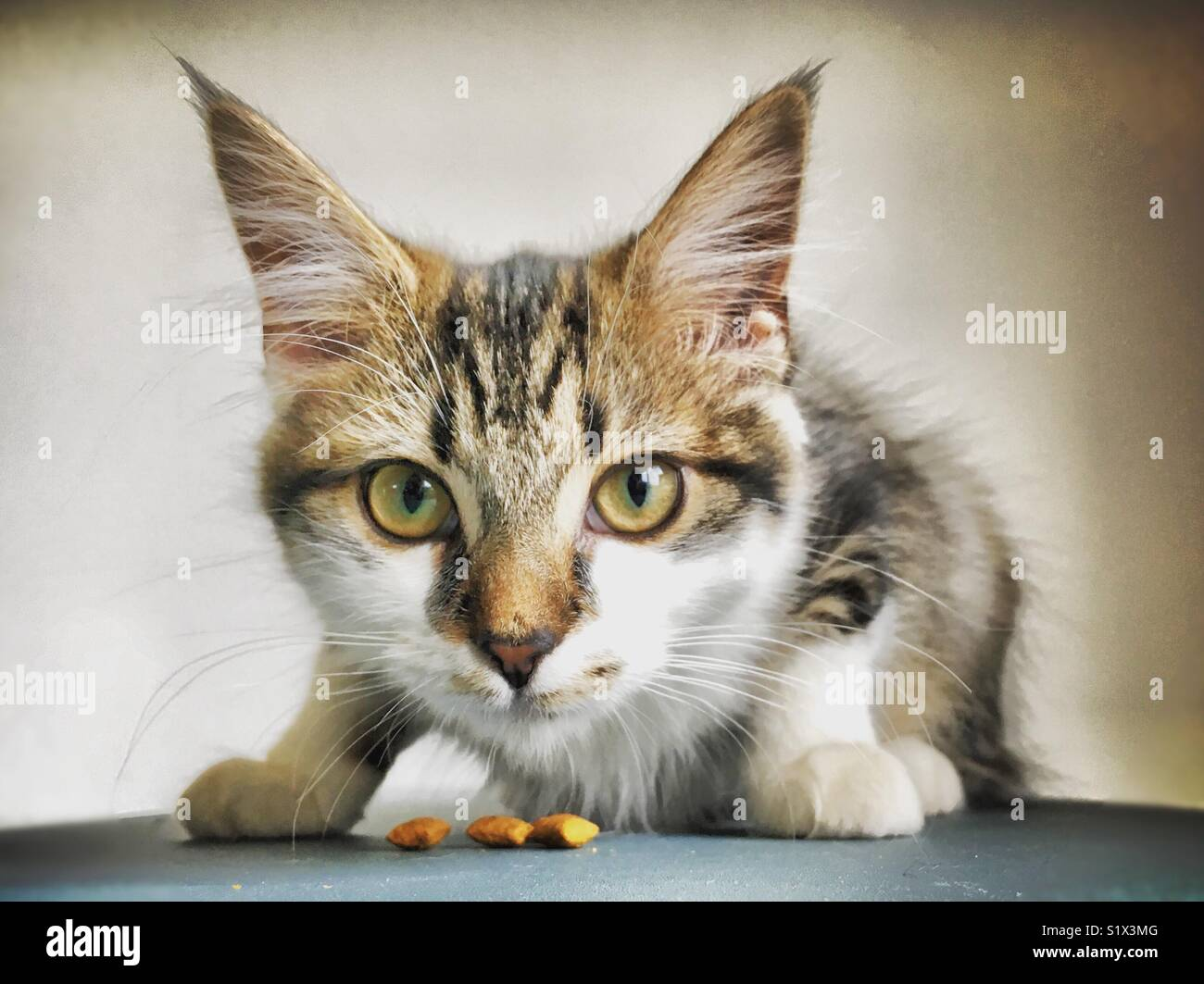 Close up of cat sat crouching about to eat treats - Stock Image