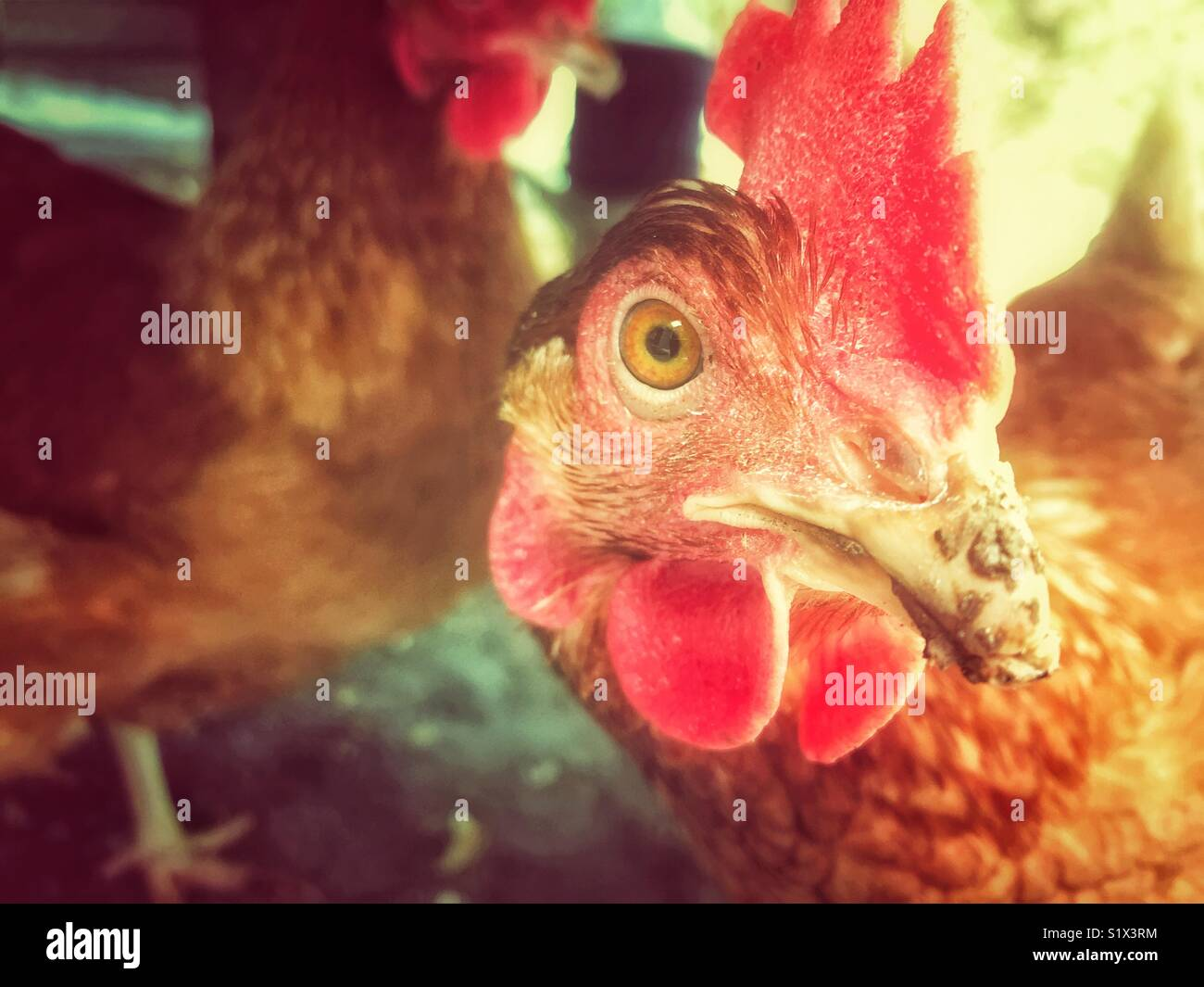 Rhode Island Red chicken closeup with chickens and warm light in background - Stock Image