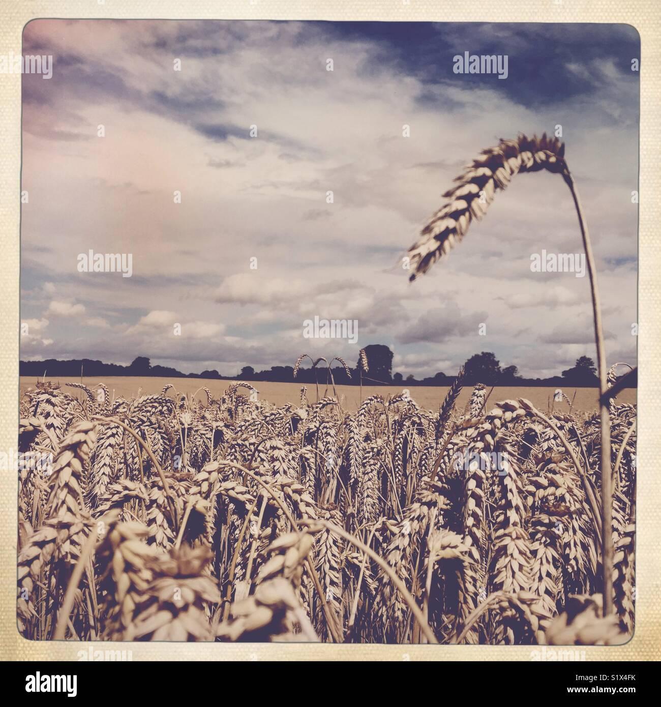Creative effect wheat field, UK - Stock Image