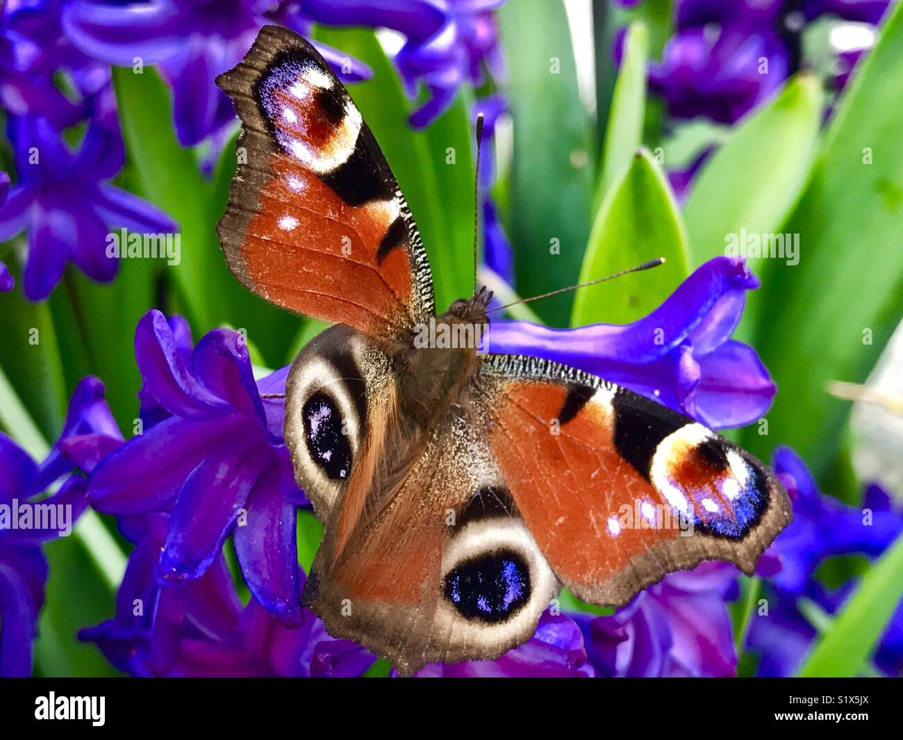 Peacock butterfly on violett flowers Stock Photo