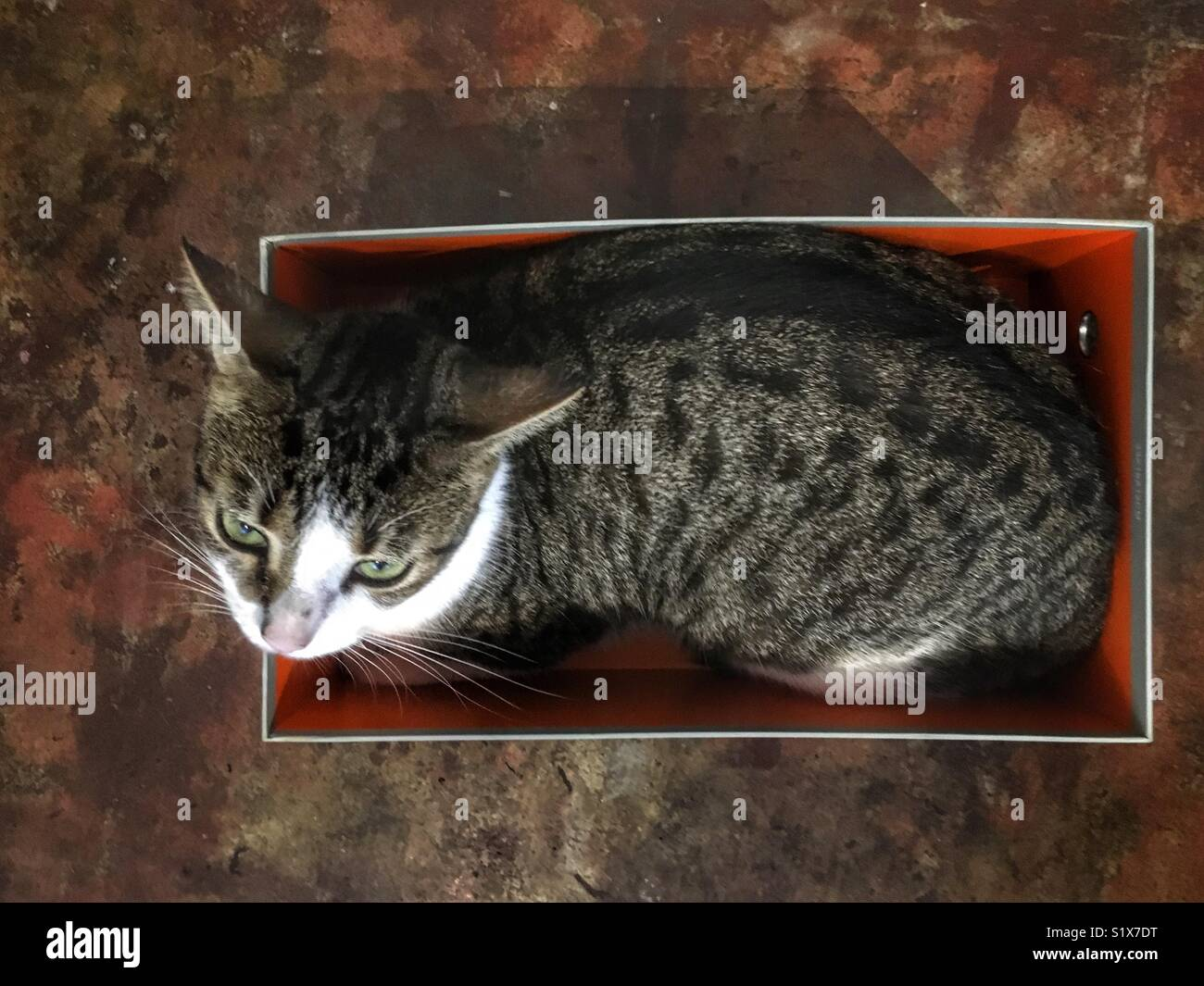 Cat in a shoebox. - Stock Image