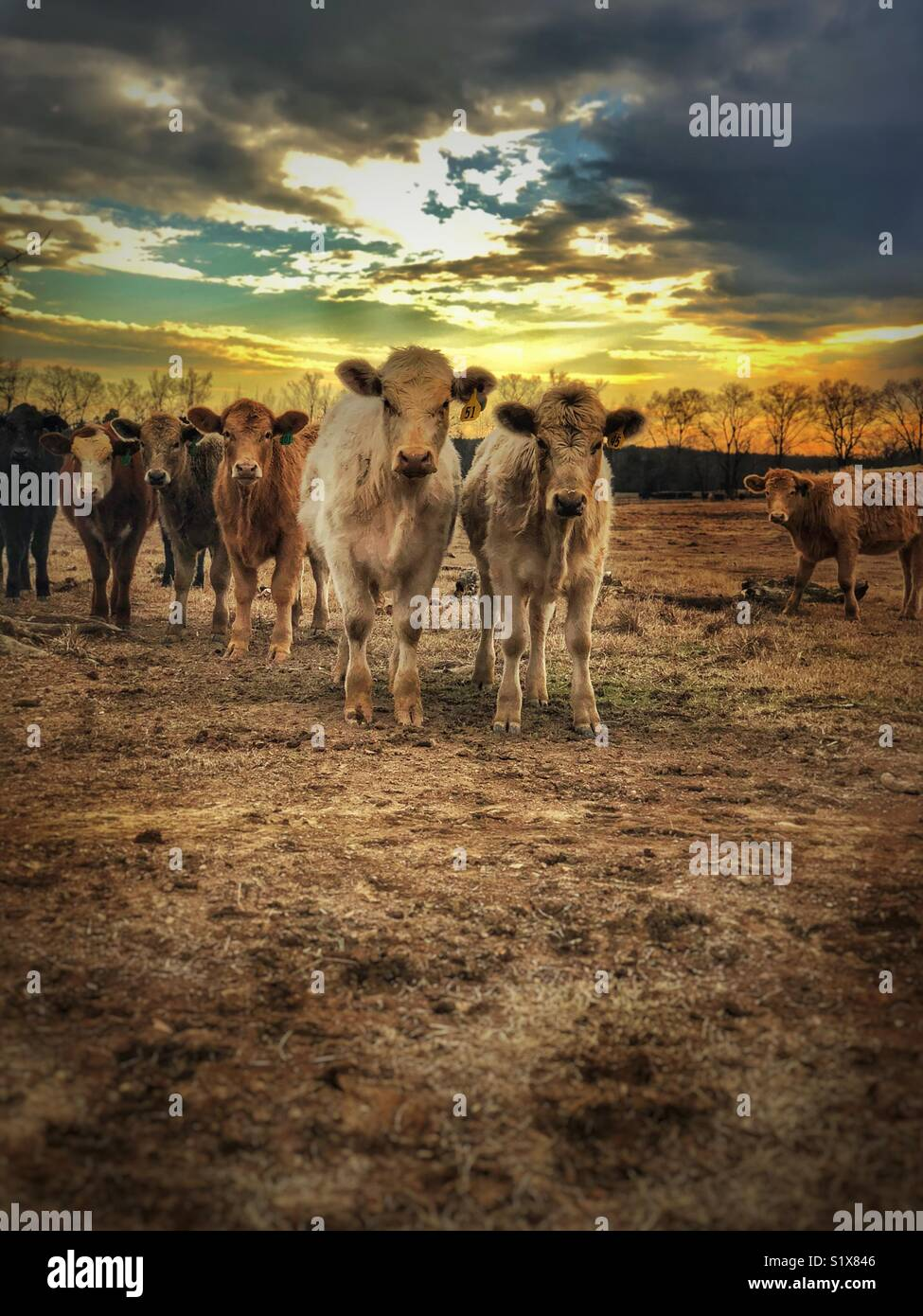 Curious cows - Stock Image