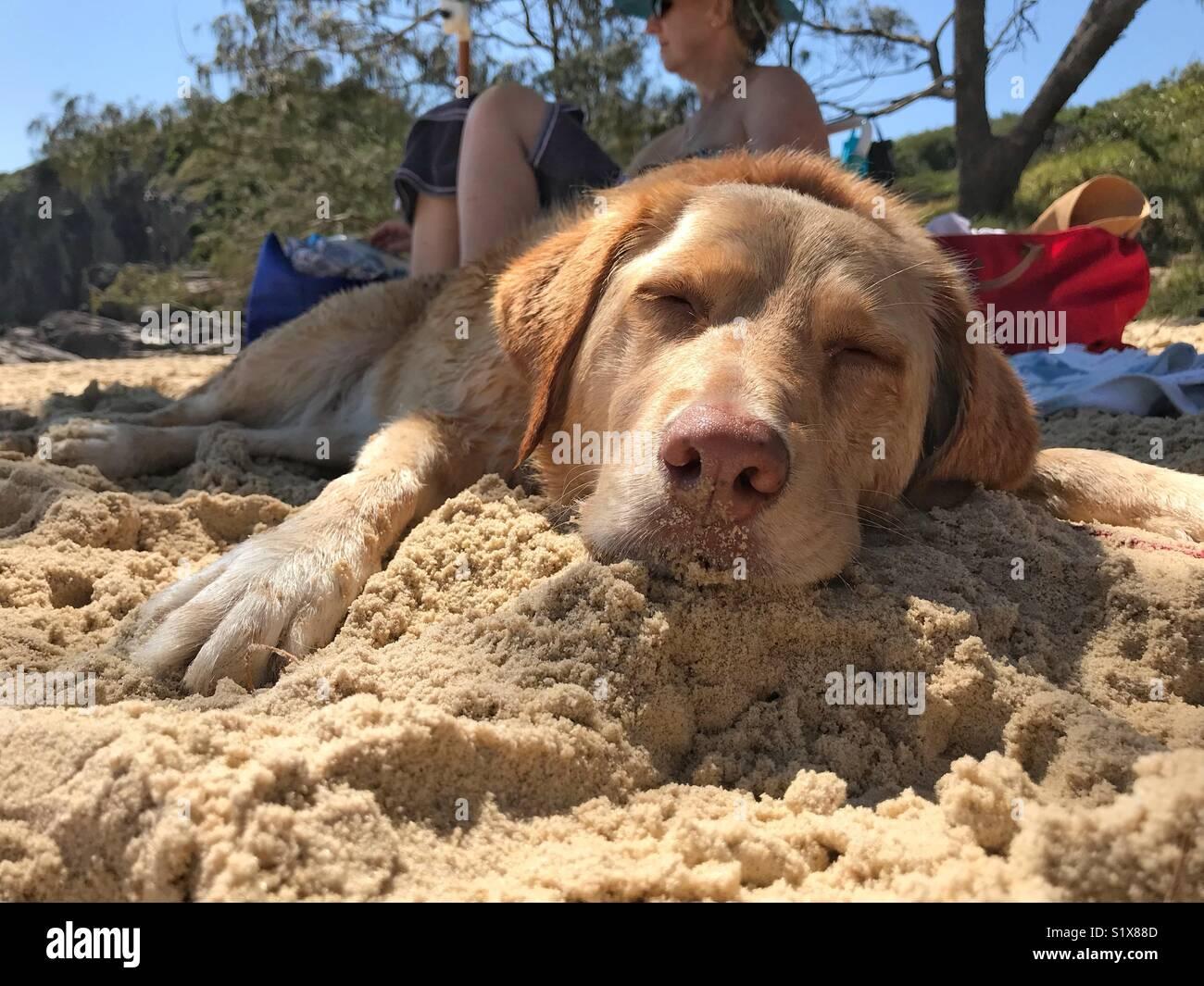 A golden Labrador cross bread dog sleeps very peacefully on the warm sun of a golden Australian Beach. - Stock Image