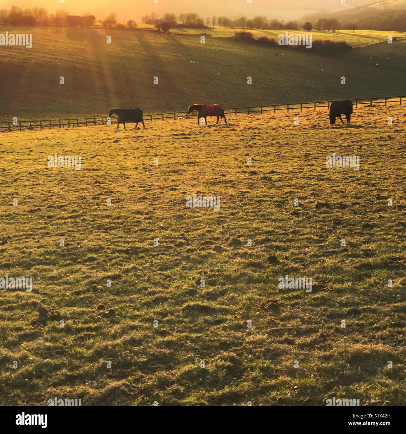 Horses out to graze in winter sun - Stock Image