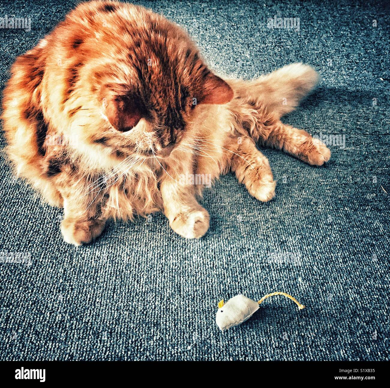 Large fluffy long haired orange cat looking at toy mouse Stock Photo