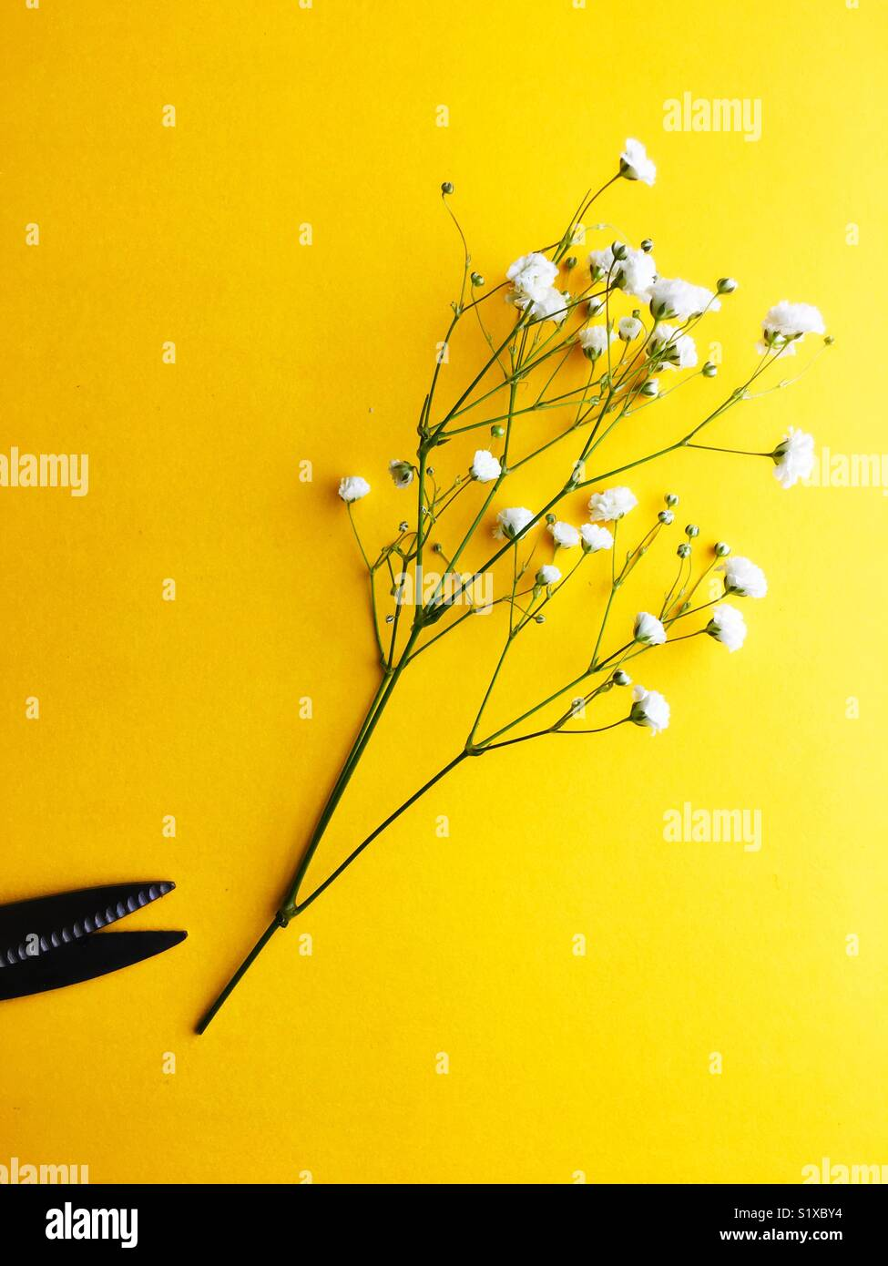 Still life of florist shears and babies breath. - Stock Image