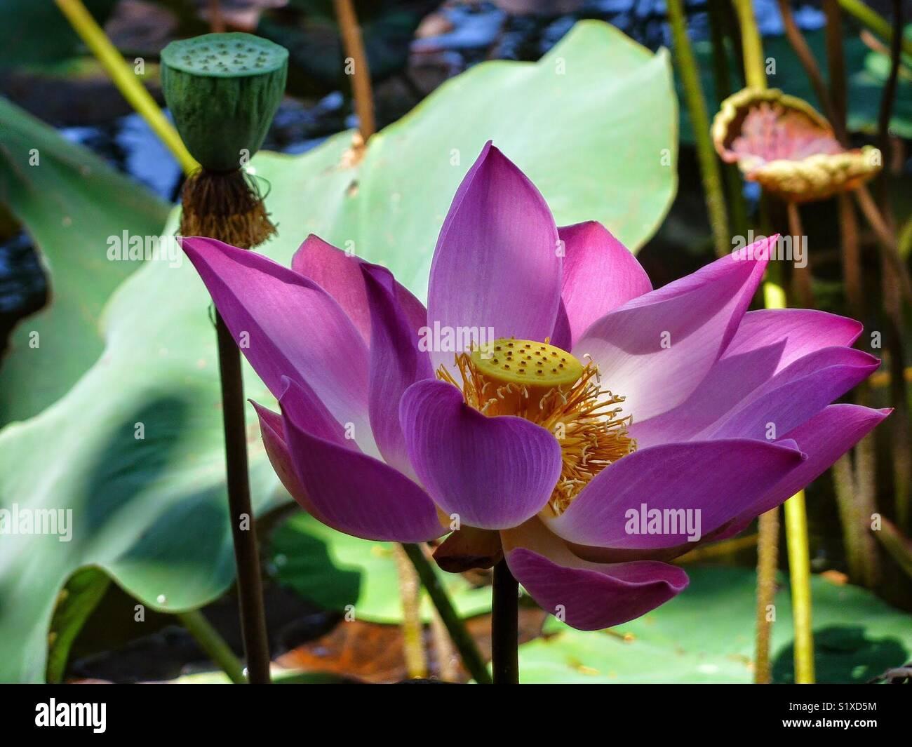 Amazing catch of a lotus flower in bali indonsia stock photo amazing catch of a lotus flower in bali indonsia mightylinksfo