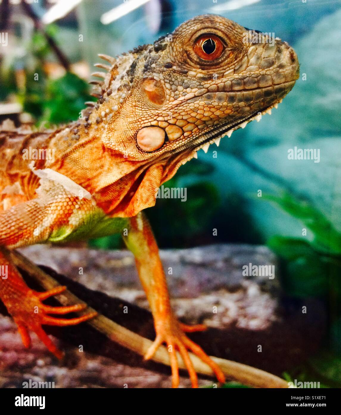 Lizard or iguana - Stock Image
