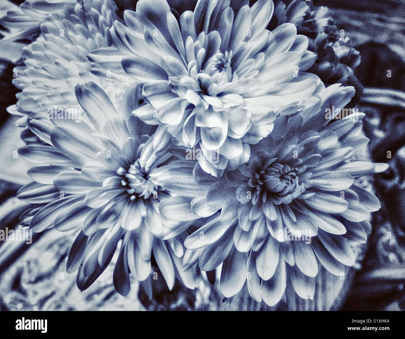 Bouquet of flowers with white chrysanthemums (mums) and white dahlias tinted blue - Stock Image