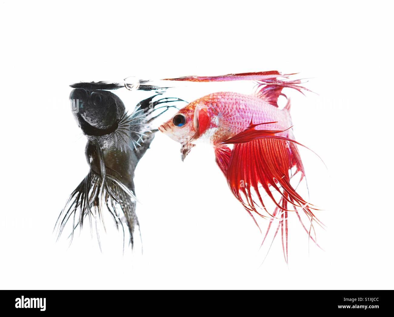 Black Betta fish and Red Betta fish Stock Photo