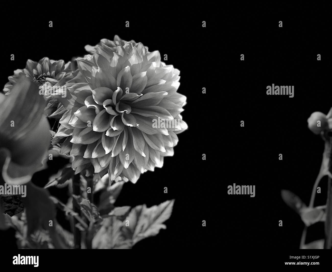 India dahlia flower stock photos india dahlia flower stock images black and white image of dahlia flowernew delhiindia stock image izmirmasajfo Gallery