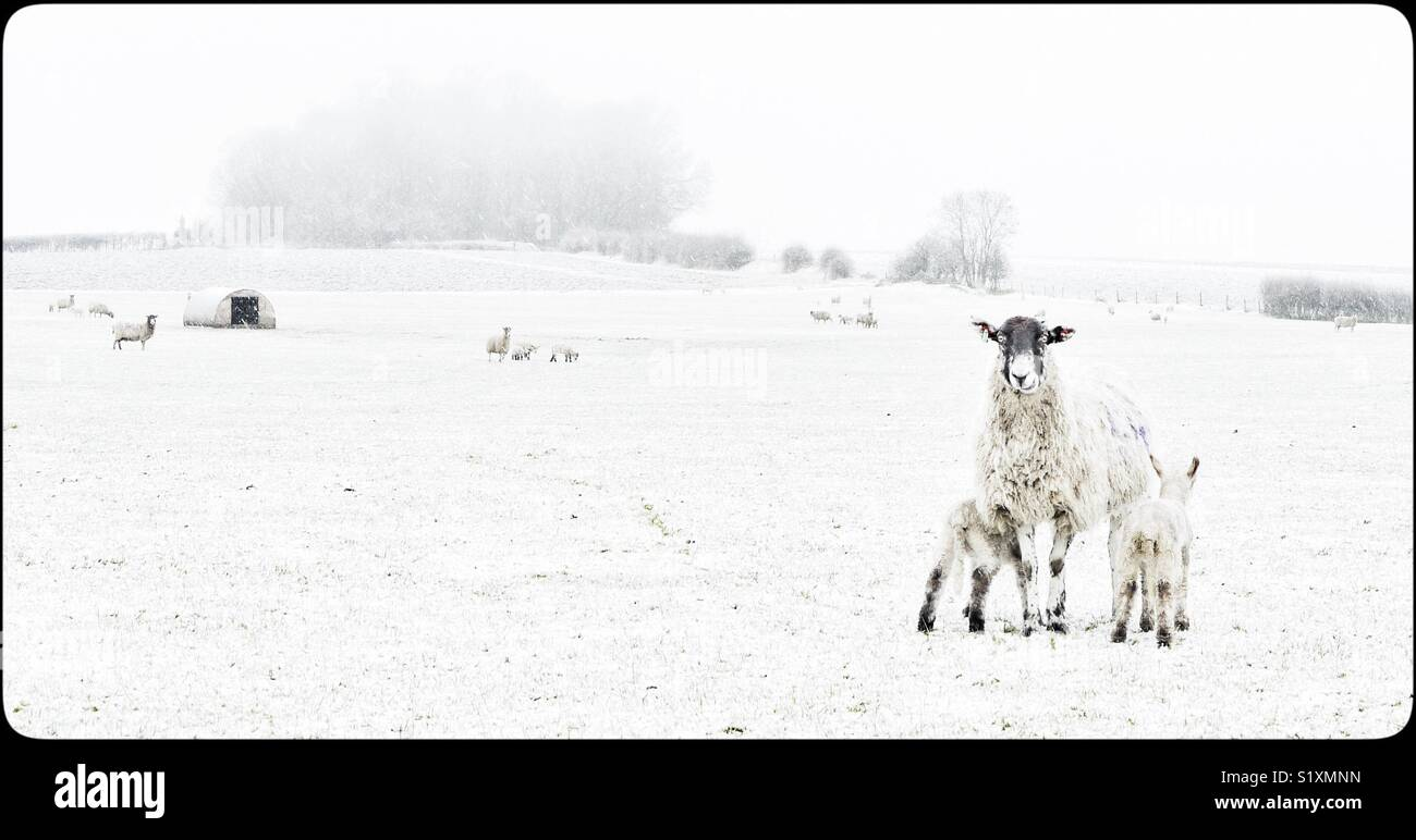 Ewe with lambs in snowy field in  Nottinghamshire, England, UK Stock Photo