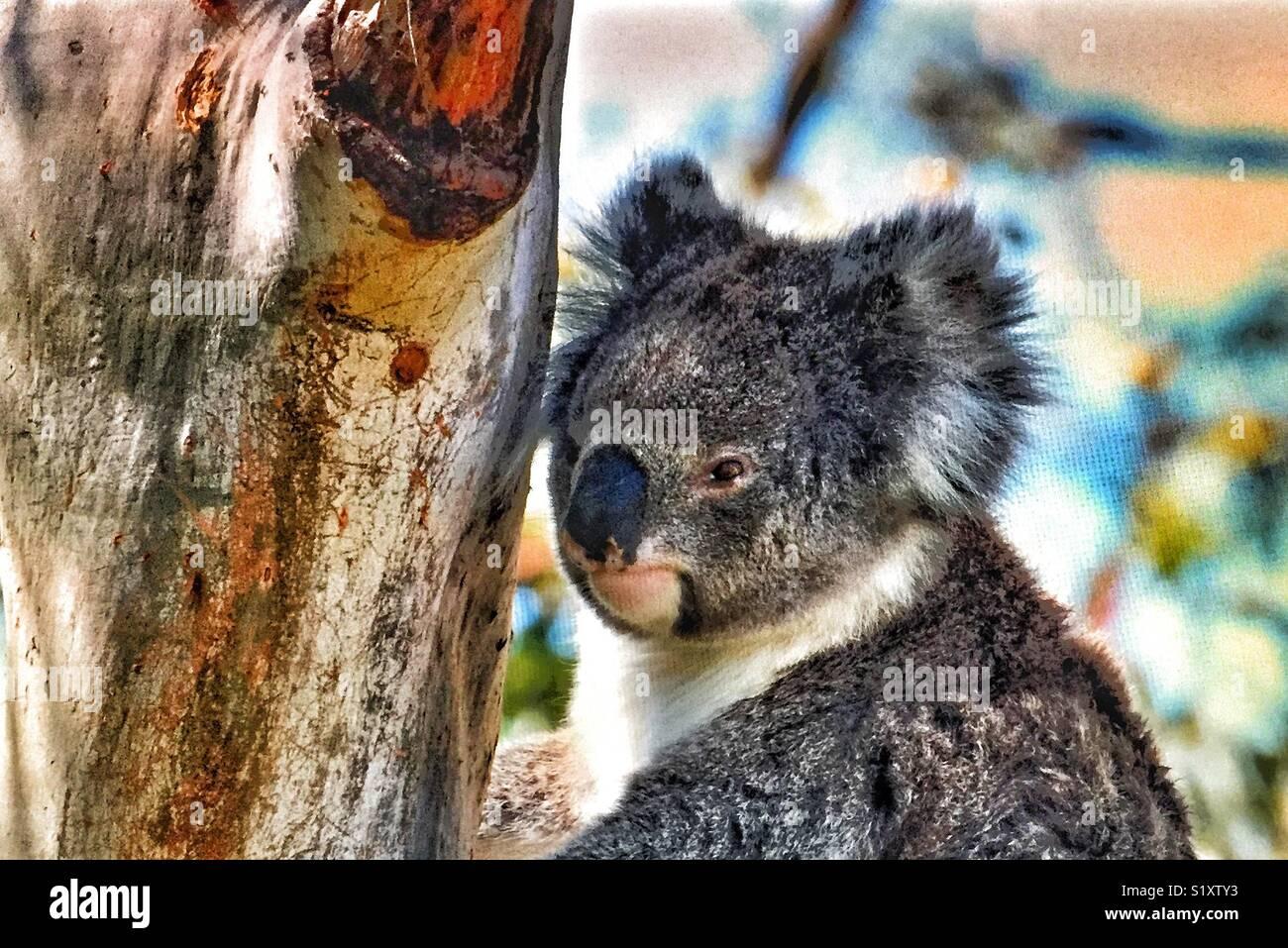 The koala is an arboreal herbivorous marsupial native to Australia. - Stock Image
